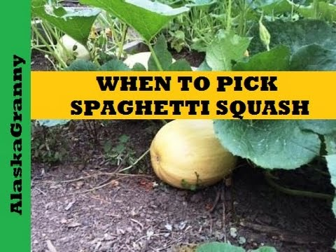 When is Spaghetti Squash Ready to Pick or Harvest