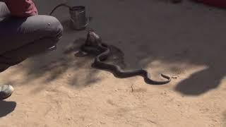 Шарлатаны или заклинатели змей? Навалгар, Раджастан, Индия