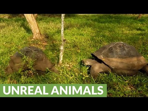 "Giant tortoises engage in epic battle and ""high speed"" pursuit"