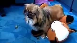 Собака потеряла сознание после секса с игрушкой