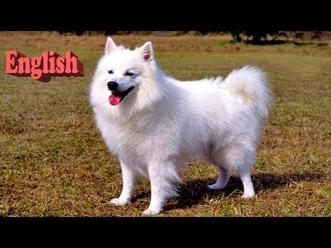 Everything about American Eskimo Dog in English