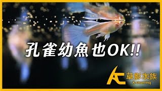 【實測】 GP-99 孔雀魚專用飼料 - 為品系孔雀而生|AC草影水族