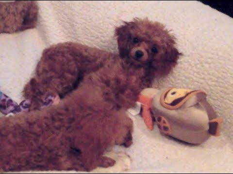 Funny Red Toy Poodle Puppies Fighting