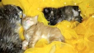Глазами животных #223. Порода кошек мейн-кун. Как выбрать подарок на Новый год
