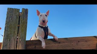 Nancy the English Bull Terrier - 3 Weeks Residential Dog Training