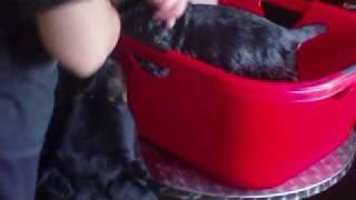 Rottweiler Welpen 6 Wochen Beim Baden.avi