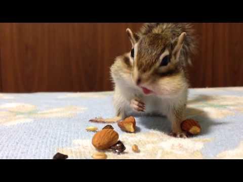 【Bikke】Chipmunk Bikke ready for hiding nuts for winter/シマリスのビッケ アーモンド何個入るかな? - YouTube
