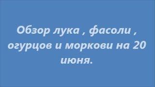 20 июня / Лук / Морковь  / Фасоль / Огурцы