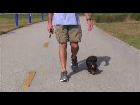 Ever see a Trained Dachshund,  No one else has either until now