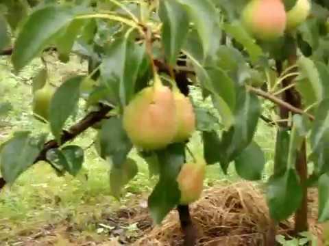 Плодоносящие груши в Сибири