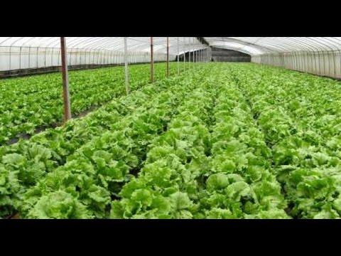 Tips Budidaya Sayuran Organik