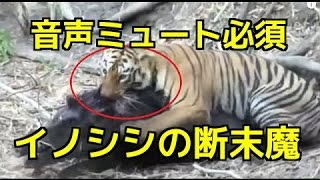 トラ(虎)の狩り!イノシシが餌食に・・(tiger attack vs wild boar ...