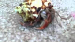 What do hermit crabs eat
