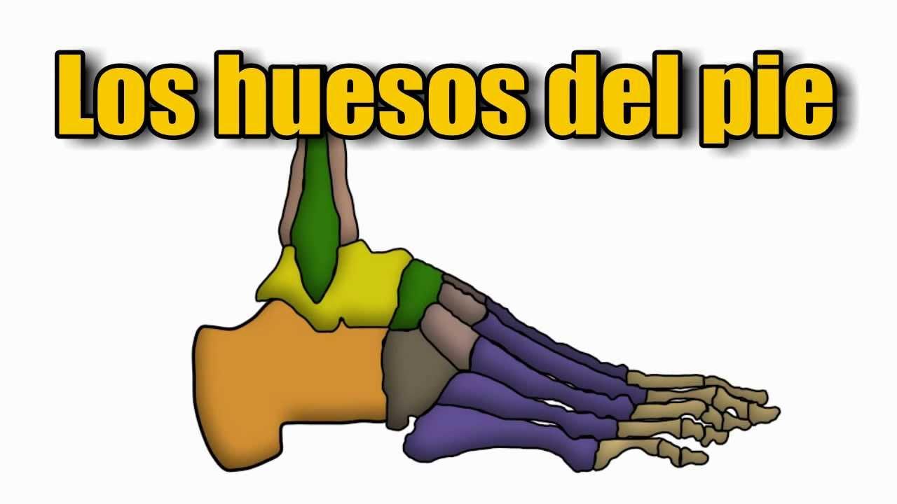 Esqueleto del pie humano, Huesos del pie, ¿Cuántos huesos hay ...