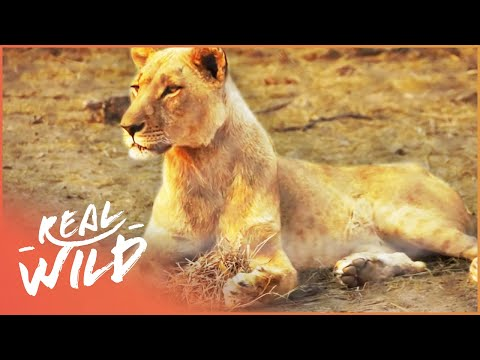 Observing African Animals From Close Range | Lodging With Lions S1 EP2 | Real Wild