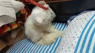 ANSHU.DOG.CARE.9716929043 show quality kitten for sale at Delhi
