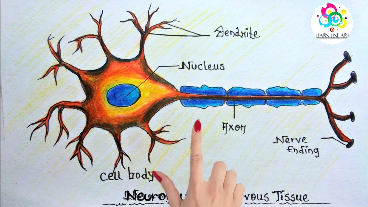 how to draw neuron nervous tissue step by step for beginners [ 1280 x 720 Pixel ]