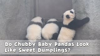 Do Chubby Baby Pandas Look Like Sweet Dumplings? | iPanda
