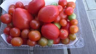 Последние сохранившиеся плоды помидоров обзор сортов.