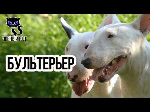 Бультерьер / Интересные факты о собаках