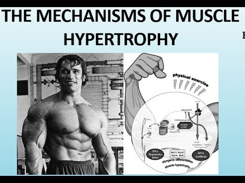 The Science of Muscle Hypertrophy How the Muscles Grow (Part II)