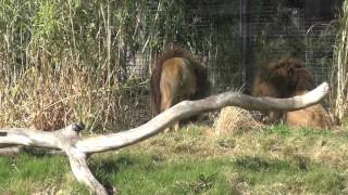 Download Video 3 x Male Lions fighting at Melbourne Zoo MP3 3GP MP4
