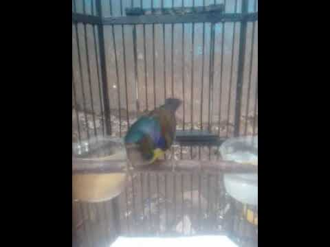 Pancingan Kolibri Kelapa