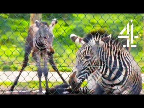 Thumbnail: Witnessing The Amazing Birth Of A Baby Zebra | The Secret Life Of The Zoo