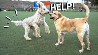 Labradoodle won't leave Zazu alone   Labrador & German Shorthaired Pointer