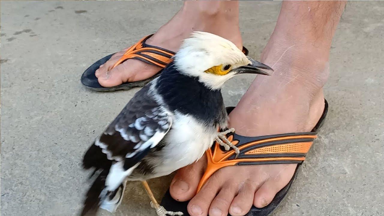 Chim Sáo Đá Nuôi Rất Đẹp