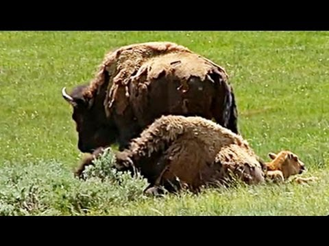 Yellowstone National Park's Wildlife:  Bison  (Buffalo)