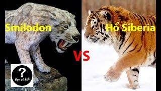Smilodon vs Hổ Siberia, con nào sẽ thắng #36    Bạn Có Biết?