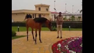 Арабские скакуны, из Египта(скакуныкрасавцы #египетскиелошади., 2016-12-23T14:40:37.000Z)