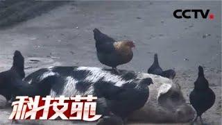 《科技苑》 20180308 猪鸡搭伴 险中生财 | CCTV农业