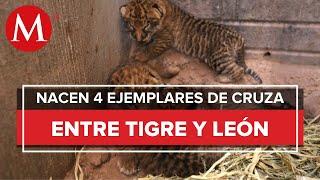 Nacen cuatro 'ligres' en zoológico de Aldama, Chihuahua