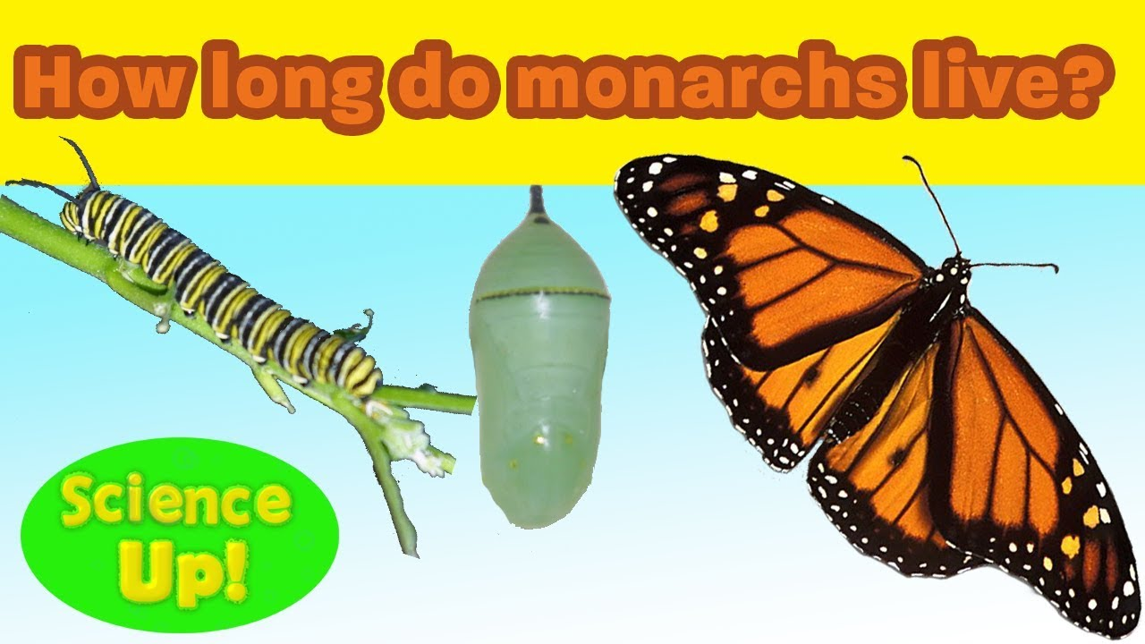 cb99da2d721c4 Monarch Q & A: How long do monarchs live? Science Up with the Singing  Zoologist