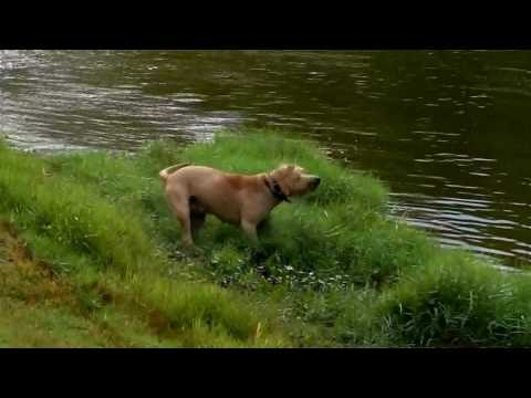 Pit Bull chases Chihuahua ELECTRONIC LONG LINE  SLOW MOTION