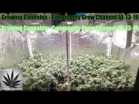Growing Cannabis - Community Grow Channel 10-13-19