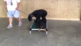 """Rottweiler Early Puppy Trained """"quan"""" Obedience Trained Dog For Sale"""