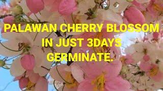 Palawan Cherry Blossom Gelly Jumawan Youtube