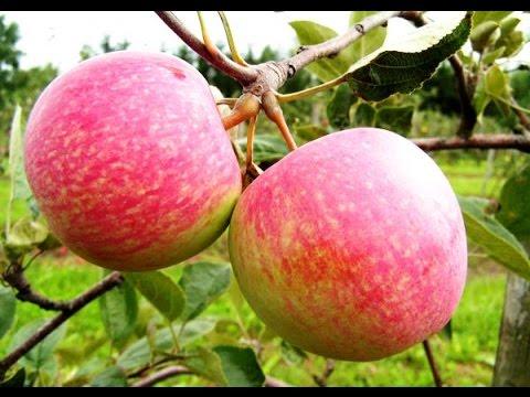 Яблоня конфетное - получил черенки