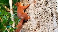 Eichhörnchen jagen um Baum