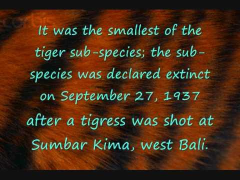 Extinct tiger subspecies