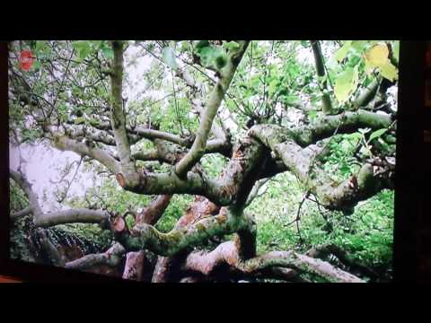 Original Bramley Apple Tree Is Dying In England