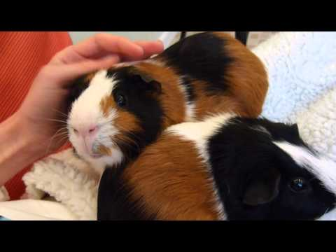 Taming Guinea Pigs | 5 Simple Steps