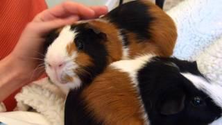 Taming Guinea Pigs | 5 Simple Steps