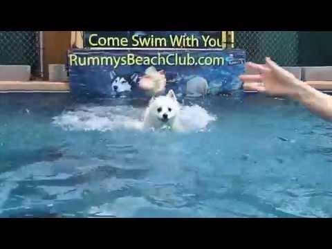 Miniature American Eskimo Dog Nicky Dock Jumps onto swimming pool floats for squeaky dog toy