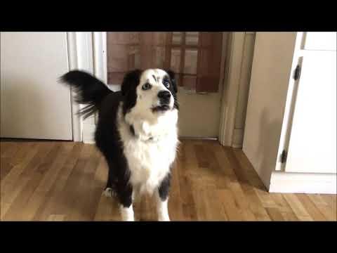 Dog On Diet Throws Epic Temper Tantrum When Denied Cookies