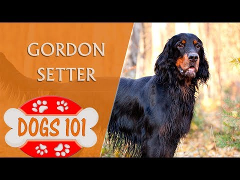 Dogs 101 - GORDON SETTER - Top Dog Facts About the GORDON SETTER