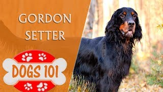 Dogs 101  GORDON SETTER  Top Dog Facts About the GORDON SETTER